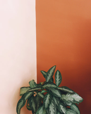 Aglaonema Silver Bay against a two-toned wall.