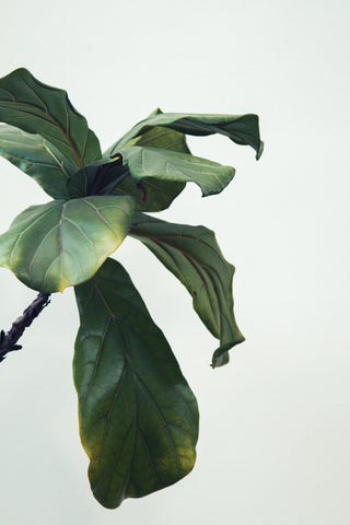 Drooping fiddle leaf fig leaves that are yellowing and turning brown