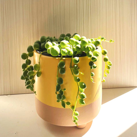 String of Pearls plant delivery in Canada
