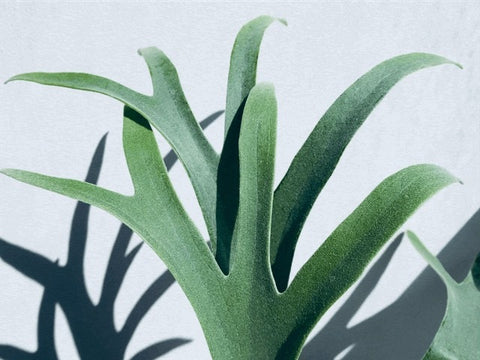 Staghorn Fern houseplant delivery in Canada