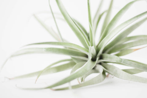 A variety of an air plant in the Bromeliad Family.