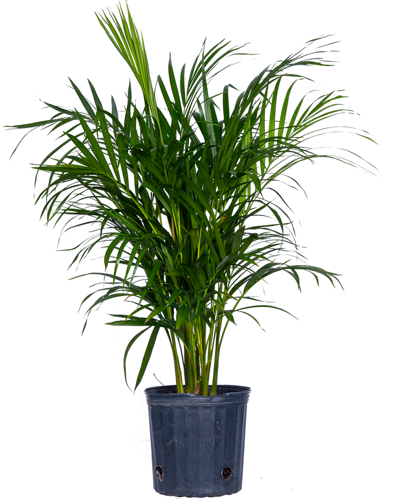 Areca Palm (XL)
