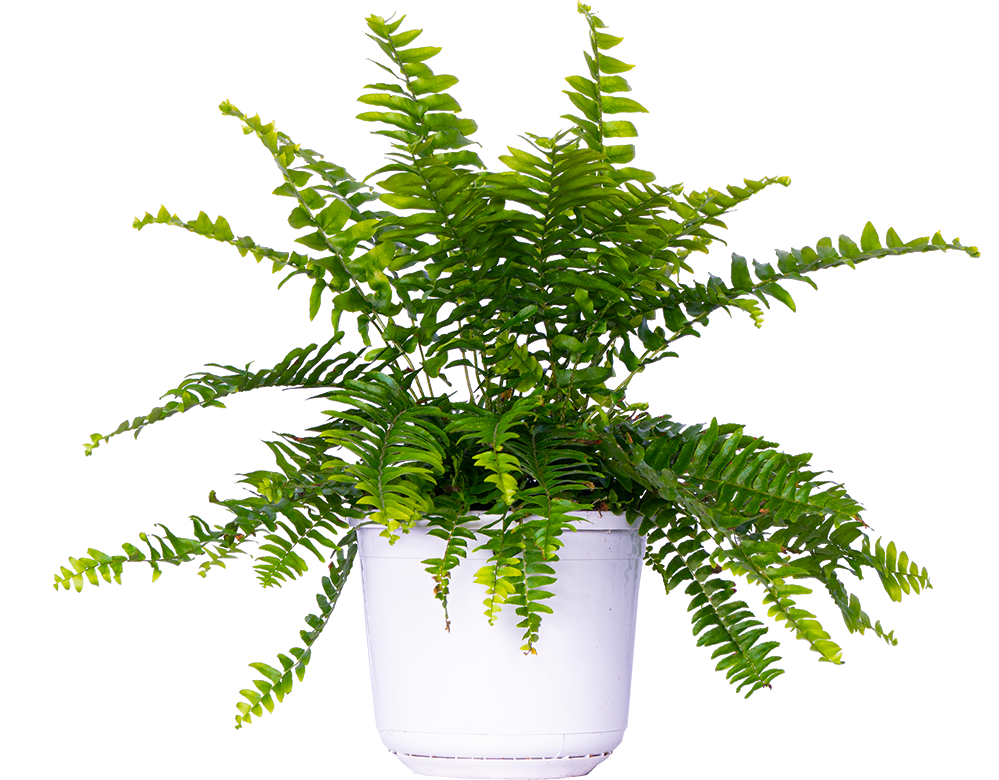 Nephrolepis Exaltata | Boston Fern (M)