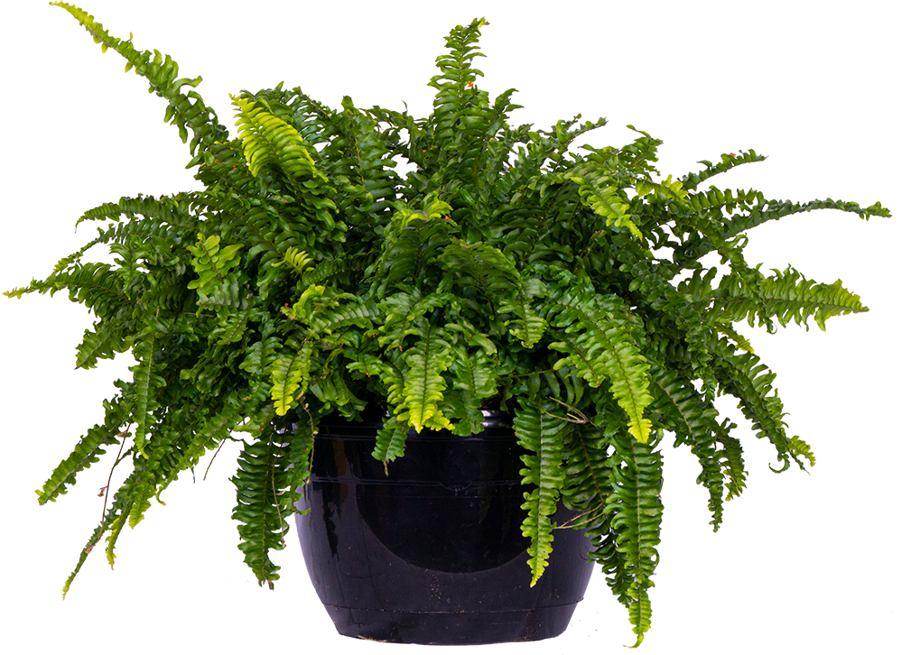 Nephrolepis Exaltata | Boston Fern (XL)