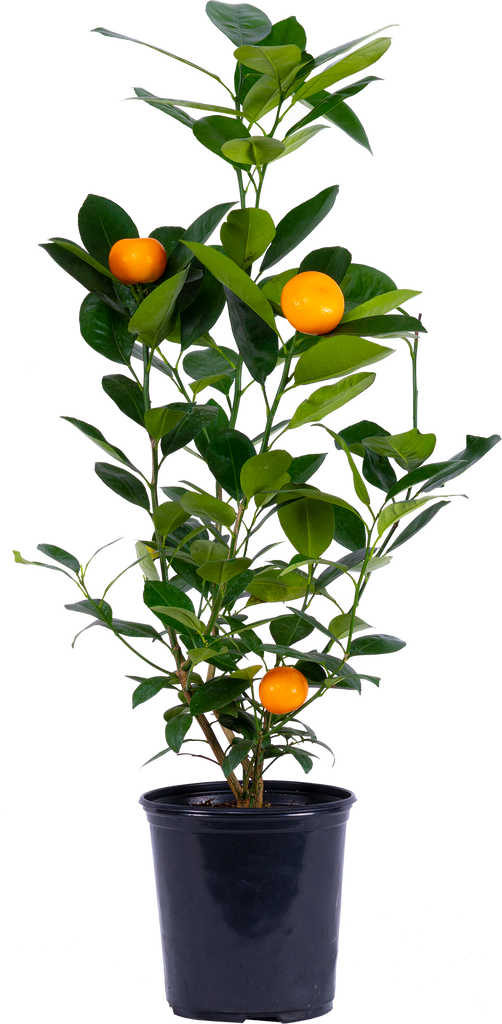 Calamondin Orange Tree (L)