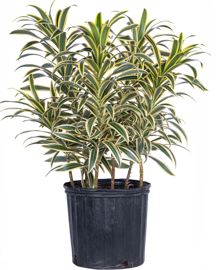 Dracaena Reflexa | Song of India (XL)