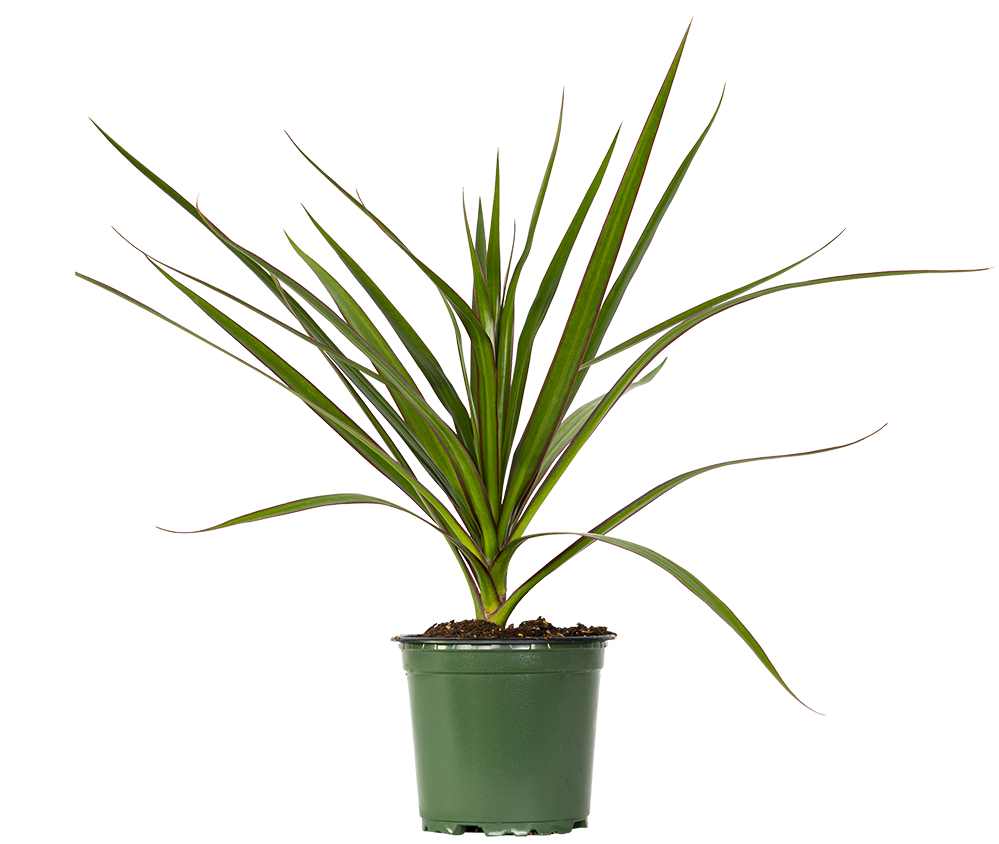 Dracaena Marginata (S) | Dragon Tree