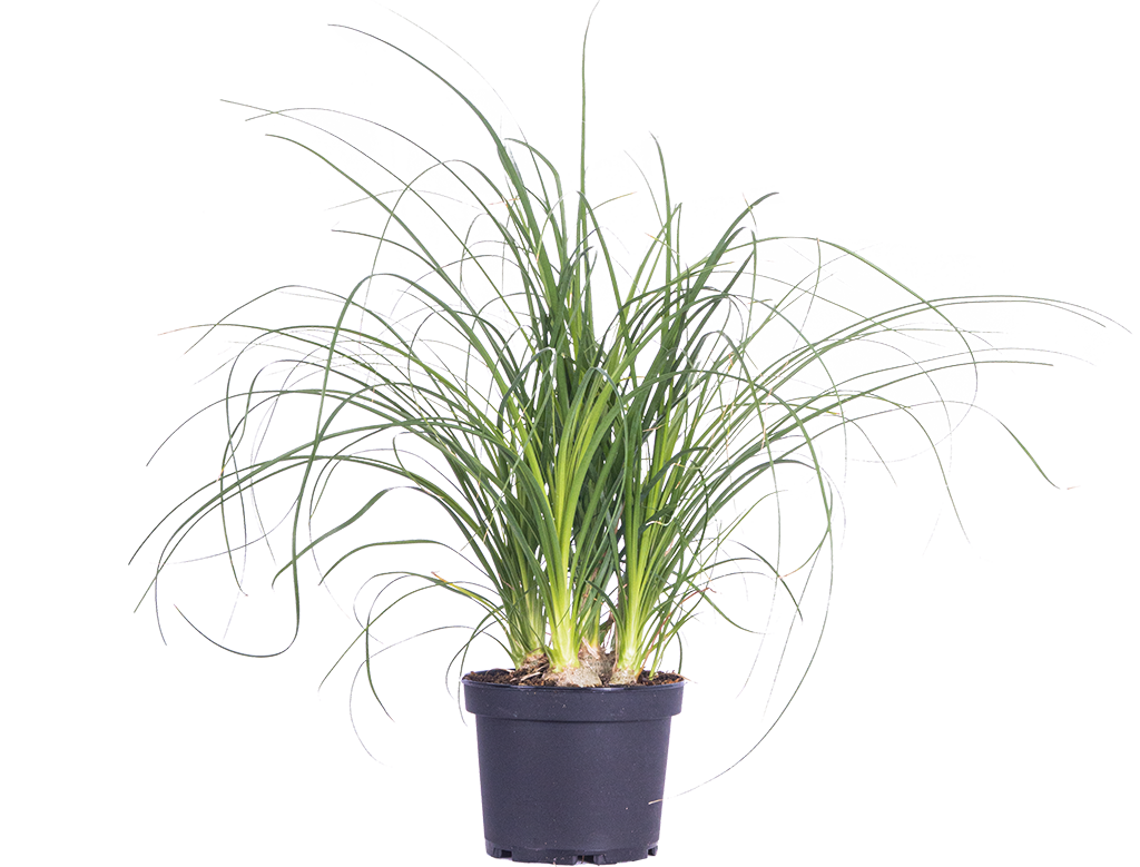 Ponytail Palm | Beaucarnea (M)