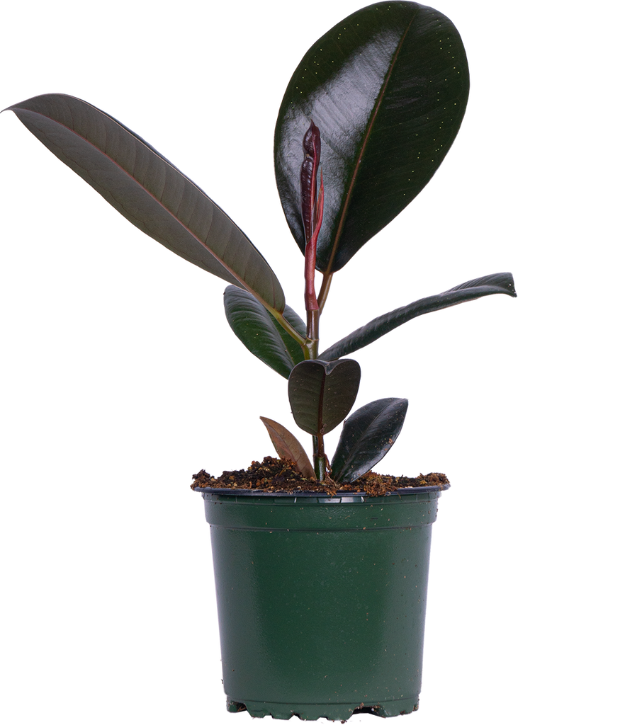 Ficus Burgundy | Rubber Tree (S)