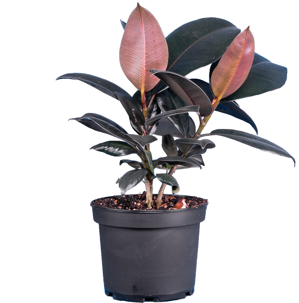 Ficus Elastica Burgundy | Rubber Tree (M)