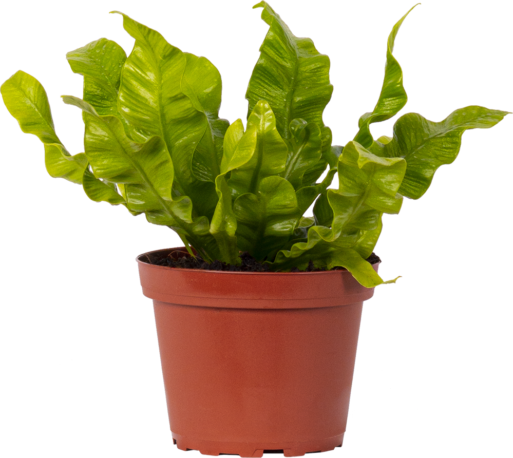 Asplenium Crispy Wave | Birds Nest Fern (S)