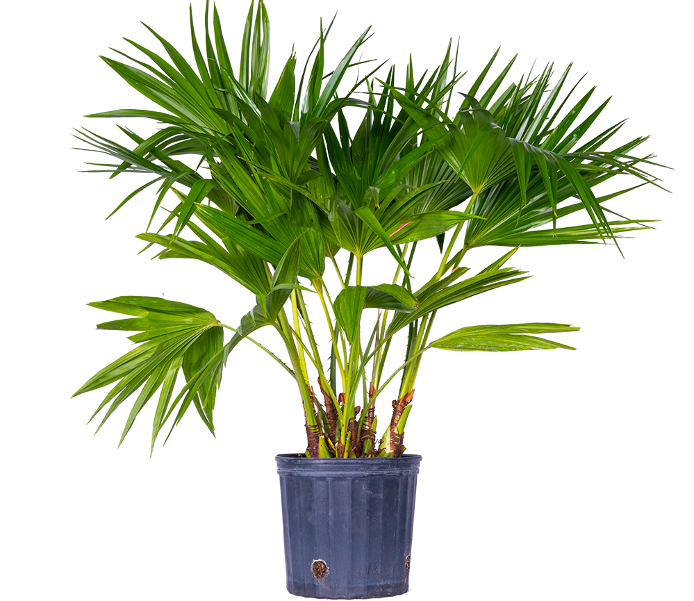 Livistona Fan Palm (XL)