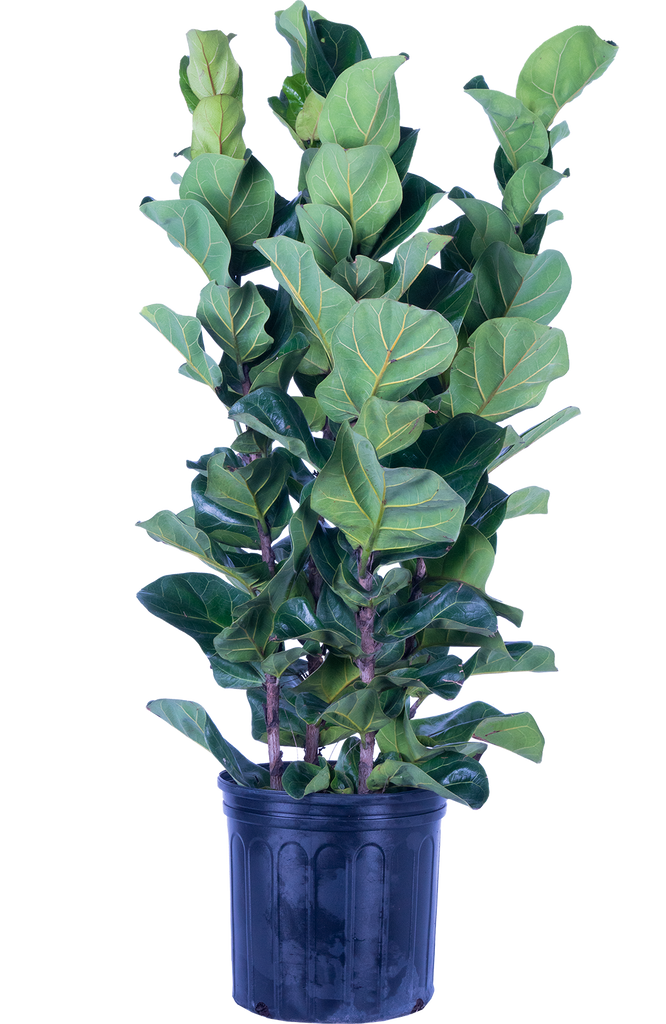 Ficus Lyr. Bambino Bush (XL) | Fiddle Leaf Fig