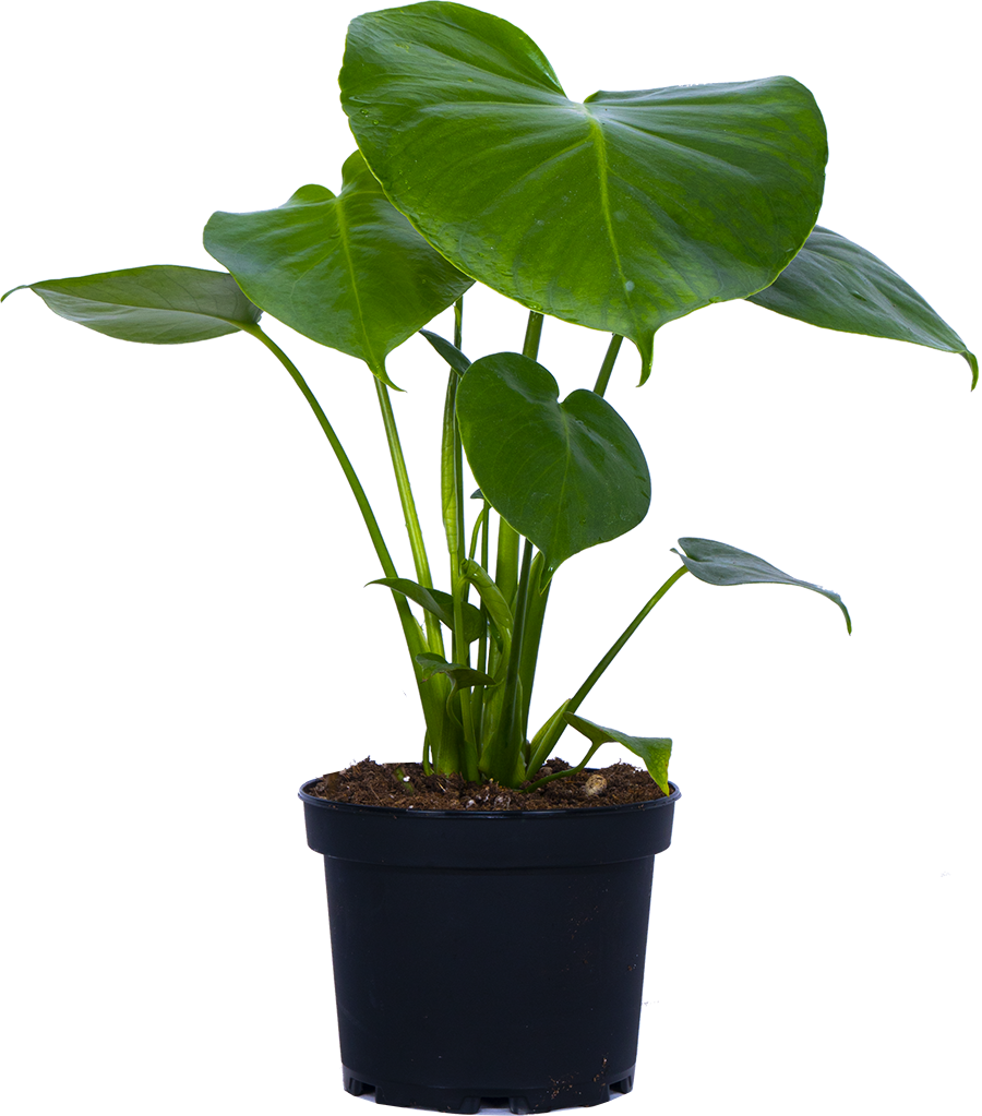 Monstera Deliciosa (M) | Swiss Cheese Plant