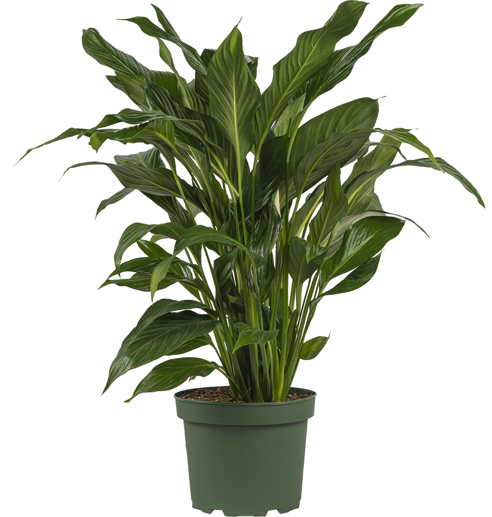 Peace Lily | Spathiphyllum (L)