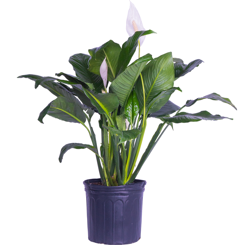 Peace Lily | Spathiphyllum (XL)