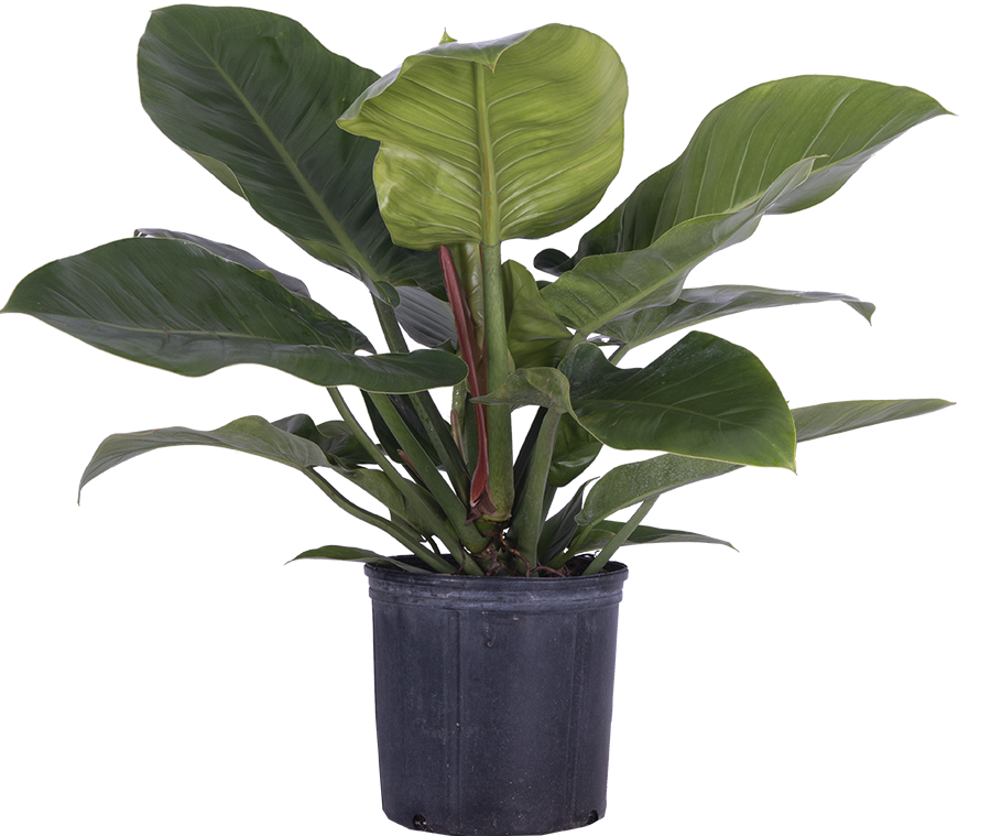 Philodendron Imperial Green (XL)