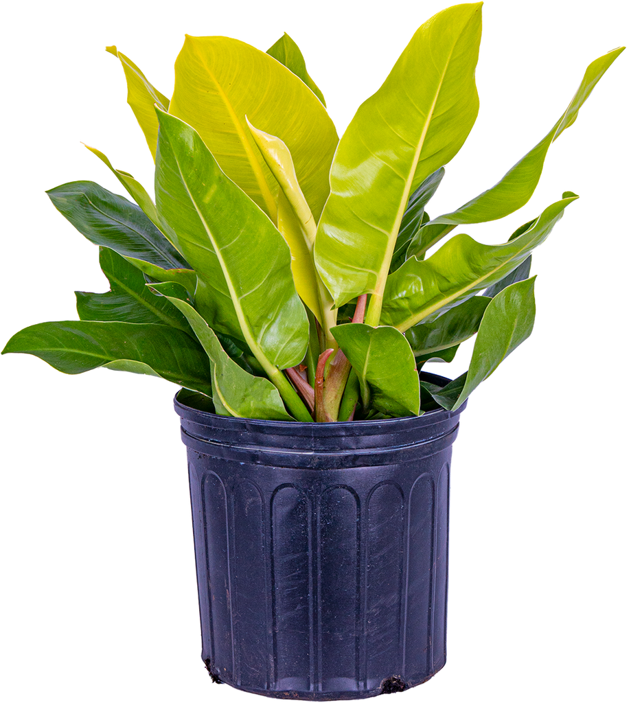 Philodendron Moonlight (XL)