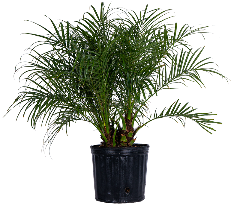 Pygmy Date Palm (XL)