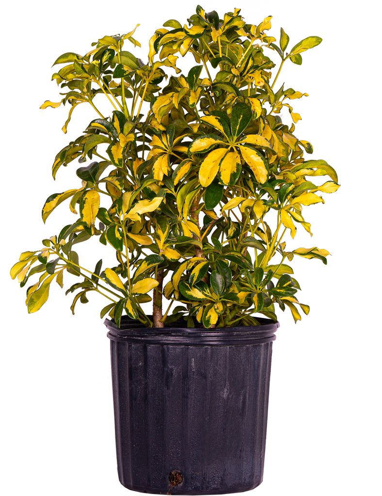Schefflera Gold Capella (XL)