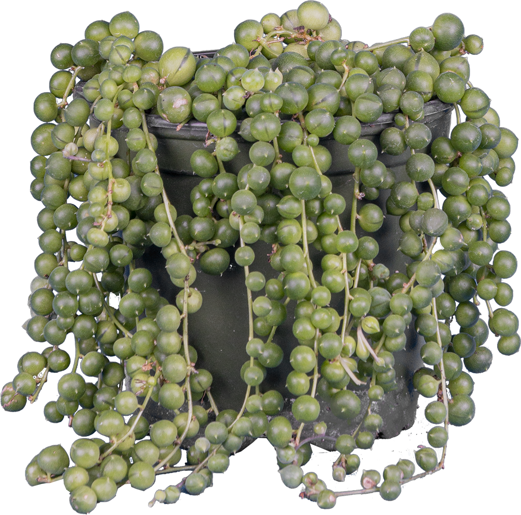 Senecio Rowleyanus | String of Pearls (S)