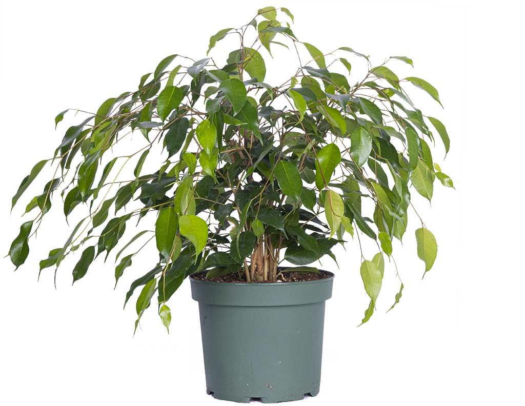 Ficus Benjamina | Weeping Fig (L)