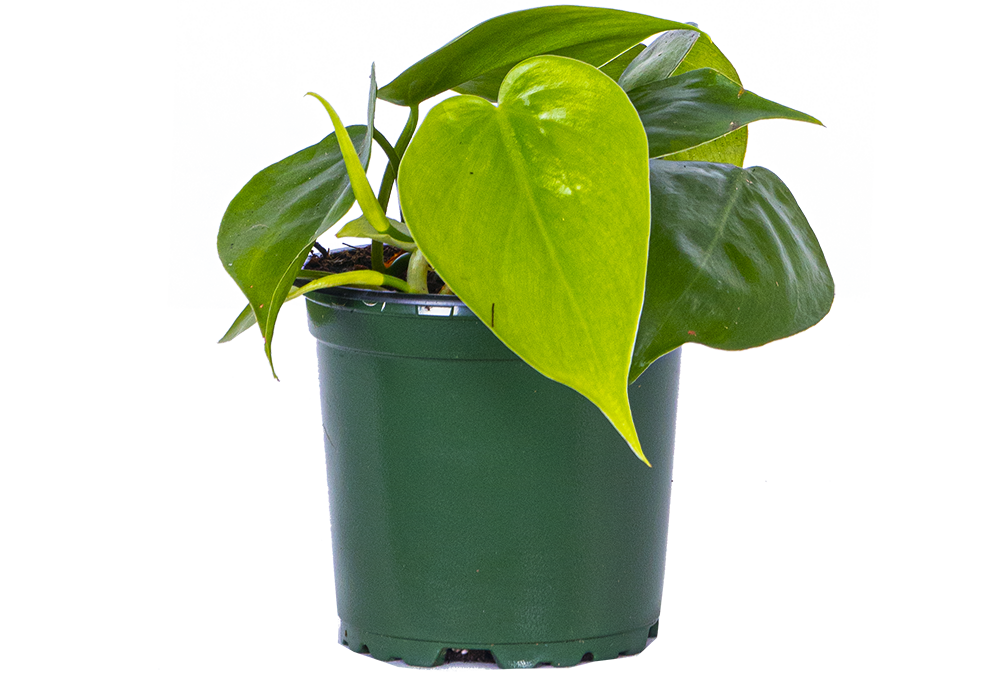 Philodendron Cordatum (S) | Green Heartleaf
