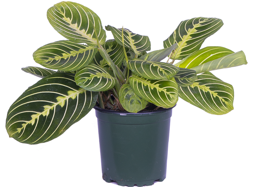 Maranta Leuconeura | Lemon Lime Prayer Plant (S)