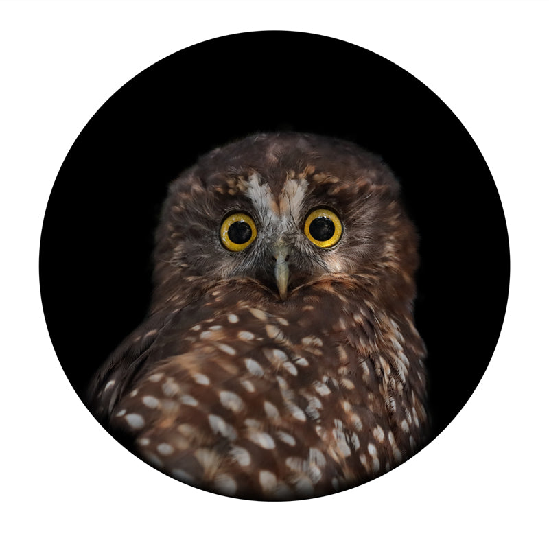 Art Print of a New Zealand native bird the Morepork