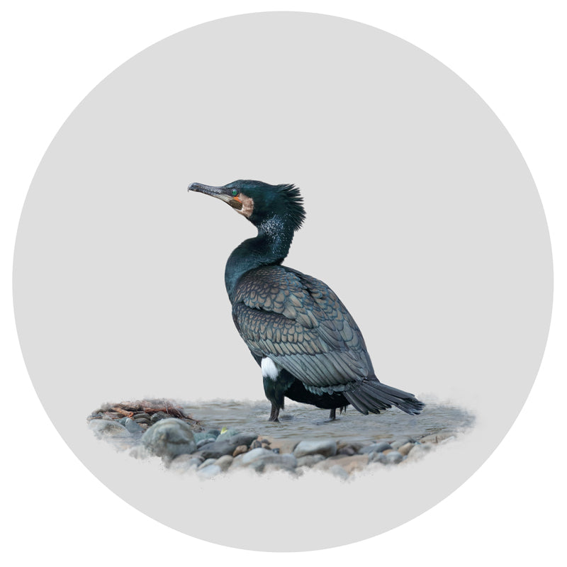 Art Print of a New Zealand native bird the Black Shag