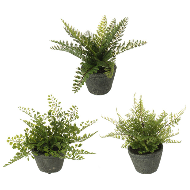 Potted Fern - Assorted