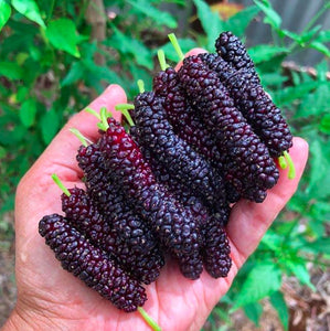 Frozen Mulberry Local (1kg)