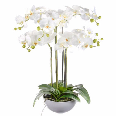 Potted Prestige Orchid White