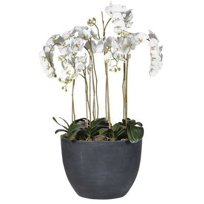 Orchid in Large Black Pot