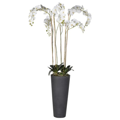 Tall White Orchid in Black Planter