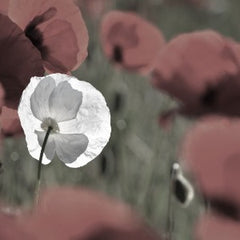A white poppy flower in a field of red poppies