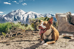 Is CBD good for pets? This dog finds CBD helps with its arthritis, allowing him to climb tall mountains without joint pain.