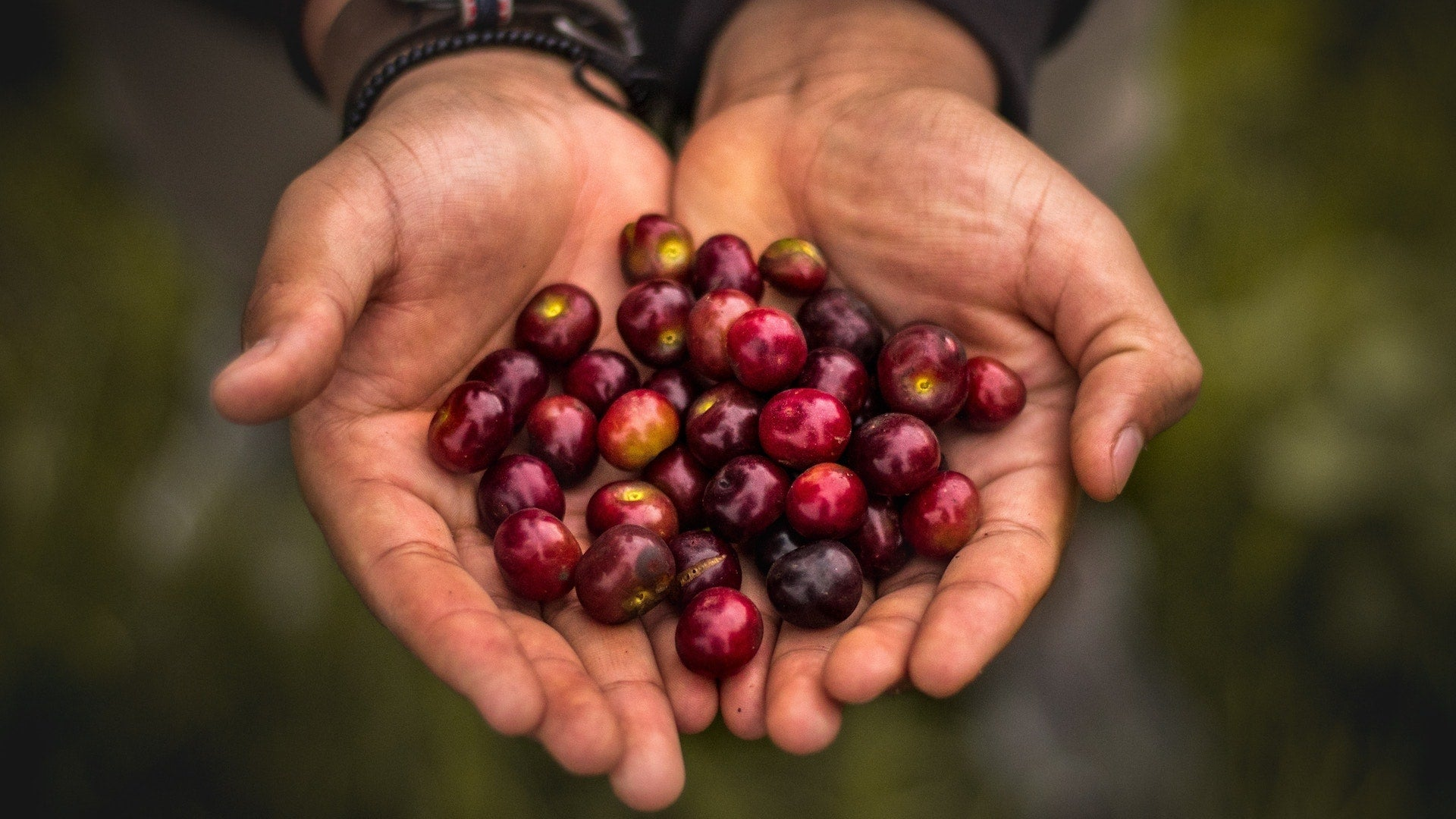 Victor Allen's Coffee Berries in Hands