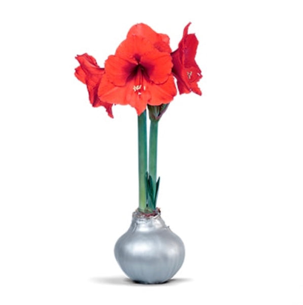 Red Sovereign Waxed Amaryllis - Silver Wax (PRE-ORDER: SHIPS 11/15/20)