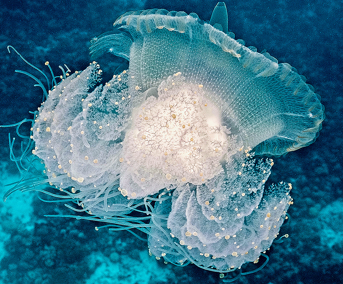 jelly tuamotus