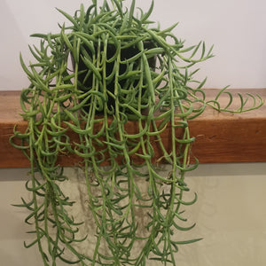 Senecio radians - String of Bananas
