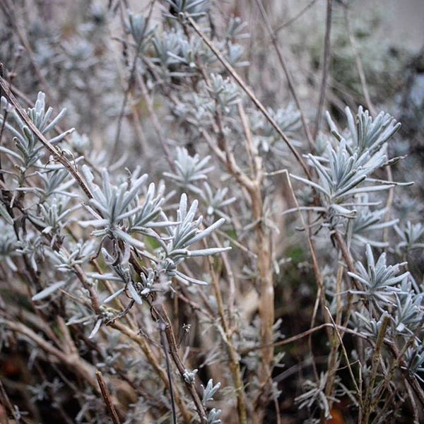 Seasonal Lavender Plant Care: Autumn & Winter