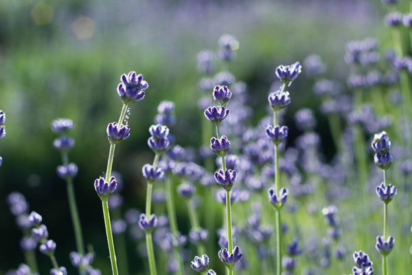 Recipe: Lavender Extract