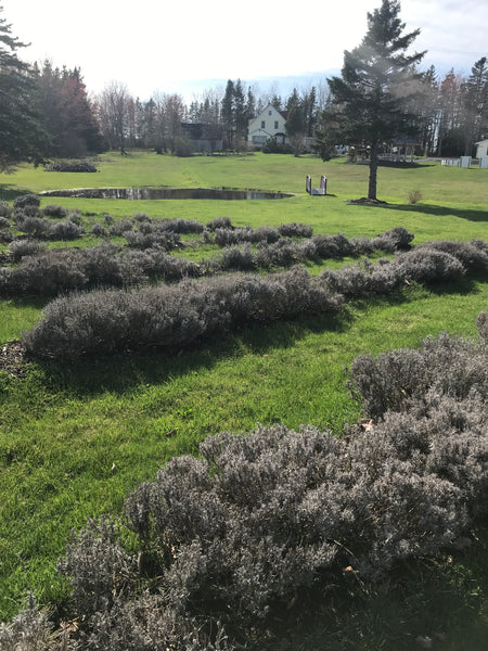 Lavender plants in winter dormancy are a silvery colour tinged with green.