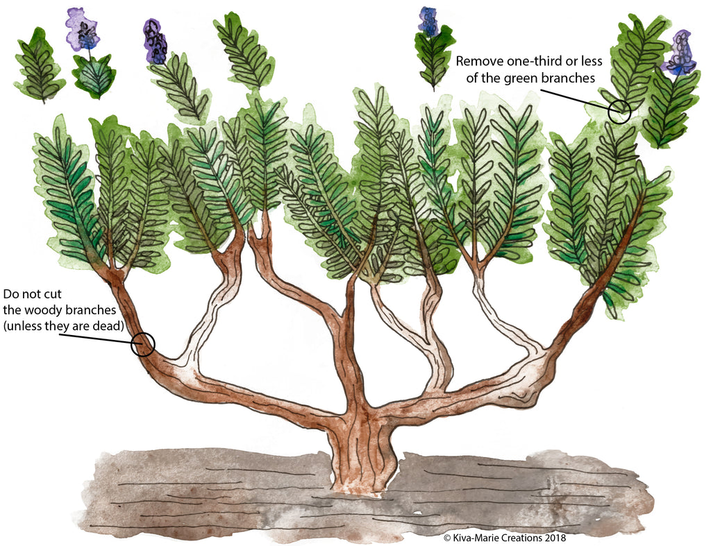 Lavender Pruning Guide