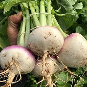 New Season Turnip Bunch - From the farm