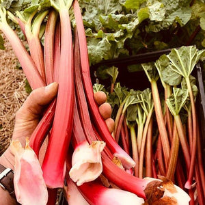 Rhubarb (our Own)