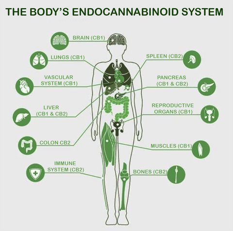 CBD Relieves the pain of Chronic Inflammation. Graphic illustration of the parts of the body's ENDOCANNABINOID SYSTEM