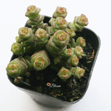Crassula 'Jade Necklace'