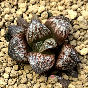 Haworthia Splendens Inca Rose